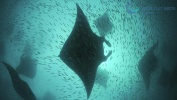 Feeding Frenzy-Manta Rays of the Maldives