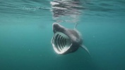 Solstice - Scotland's Basking Sharks