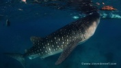 The Whale Sharks of Tan-awan